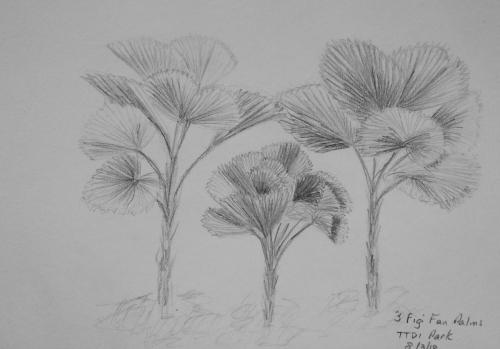 521-Three Figi Fan Palms