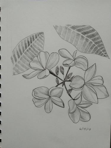 480- Frangipani blooms