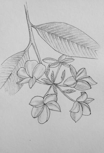 261 - Ink  frangipani with graphite